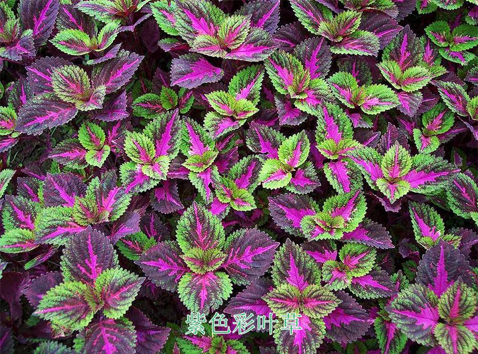 5紫色彩叶草