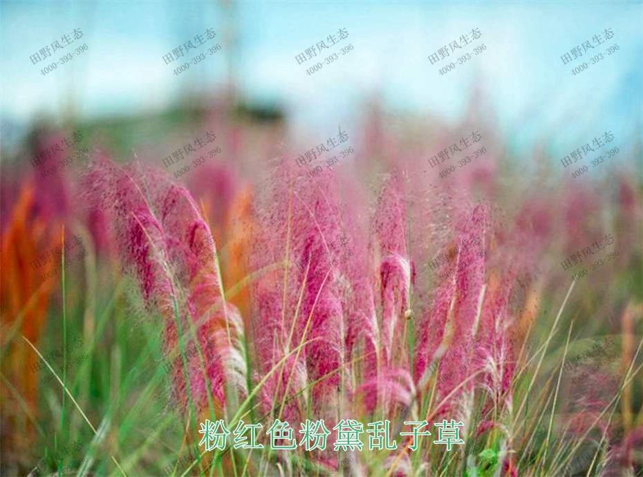 2粉红色粉黛乱子草
