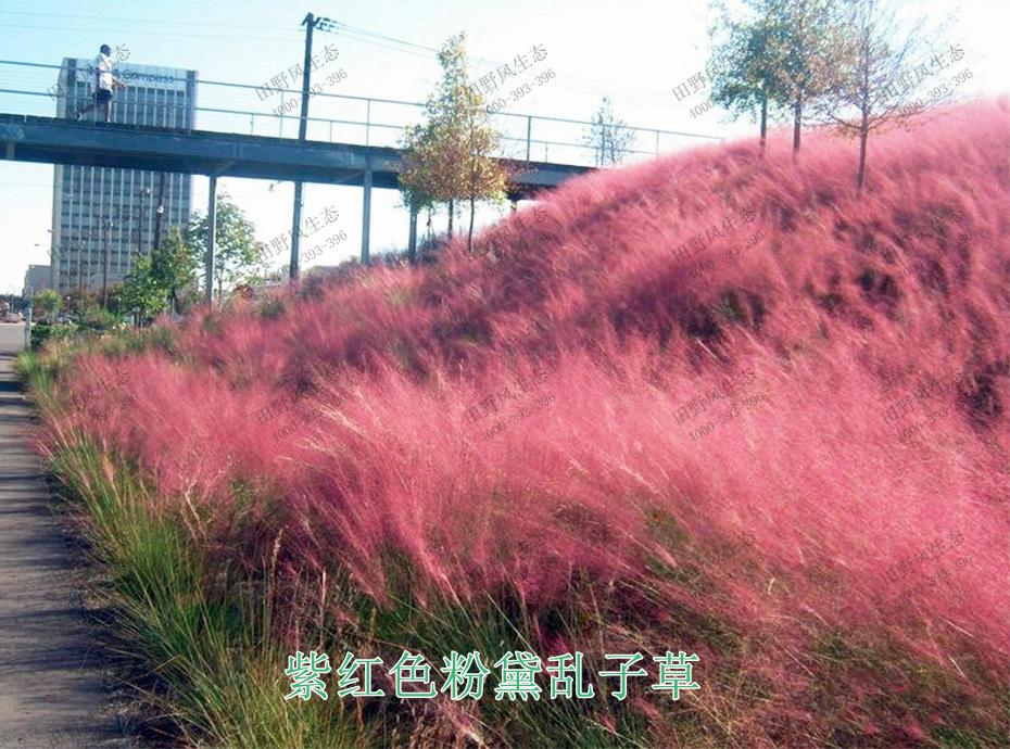 4紫红色粉黛乱子草