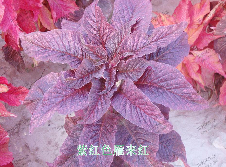 3紫红色雁来红