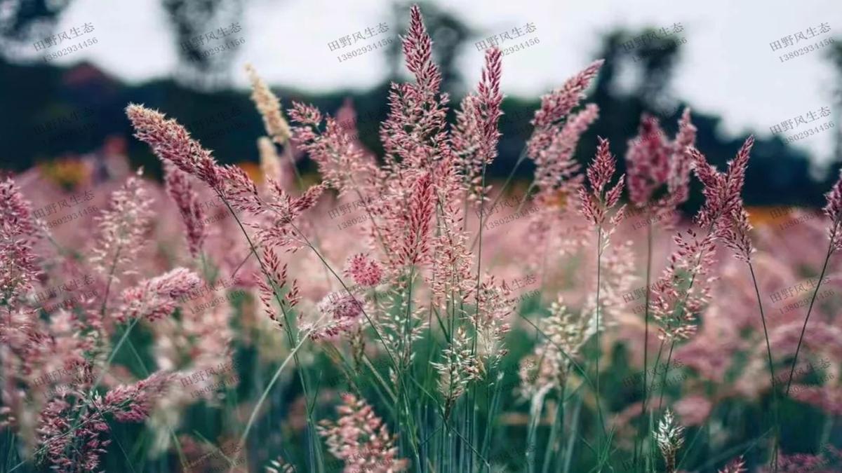 护坡绿化草种草籽糖蜜草