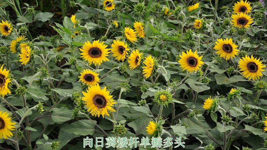 向日葵矮杆单瓣多头