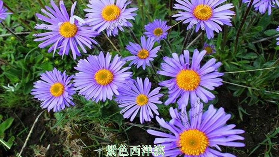 紫色西洋滨