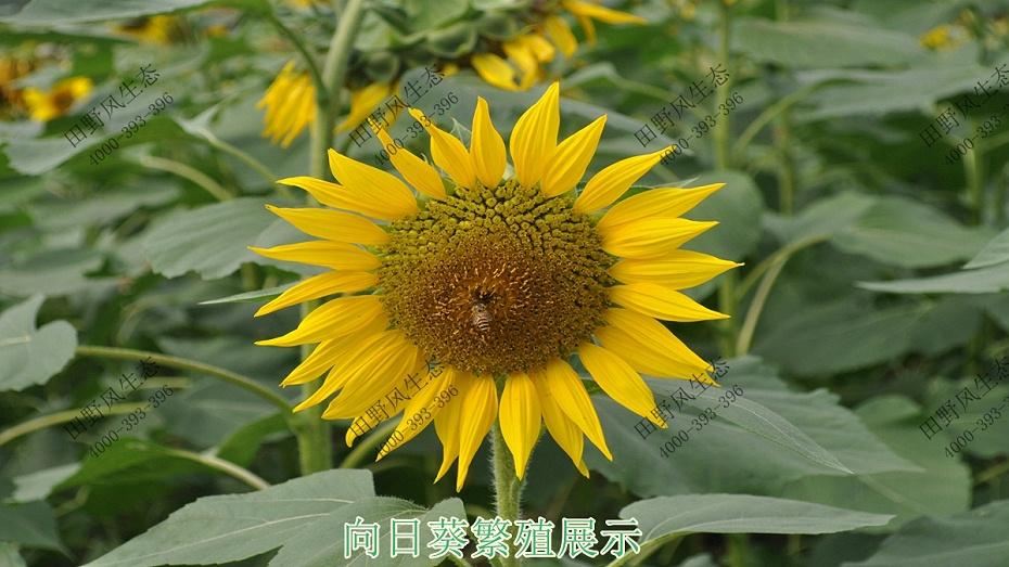 向日葵繁殖
