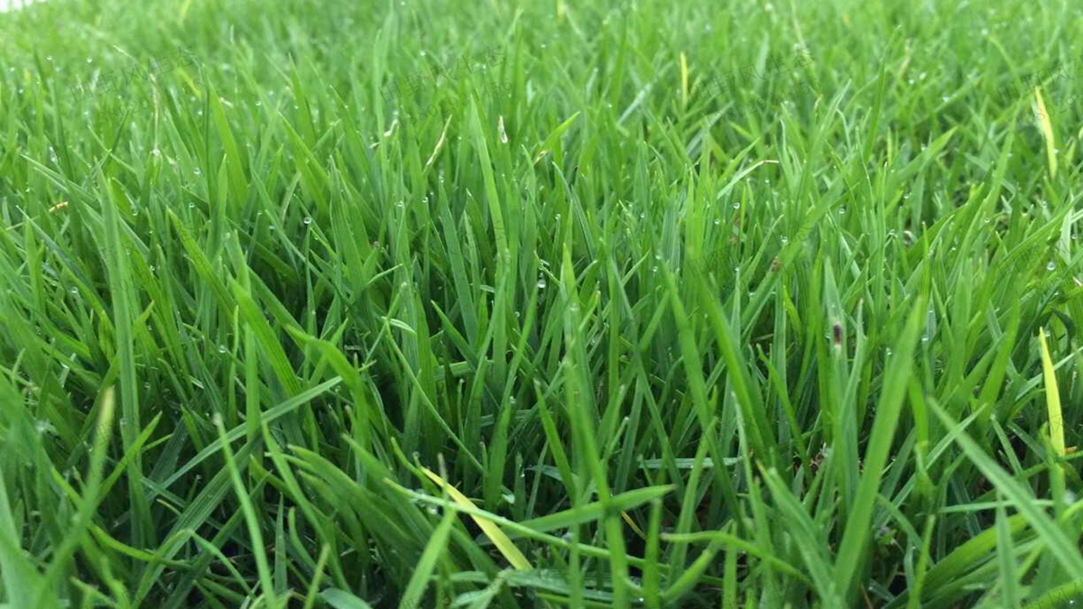 简单易懂的马尼拉草种子种植方法及养护管理技巧!