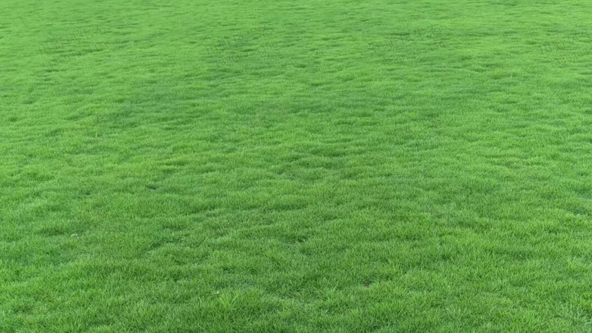 马尼拉草种子种植方法及养护管理技巧