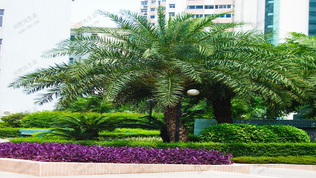 常用绿化乔木