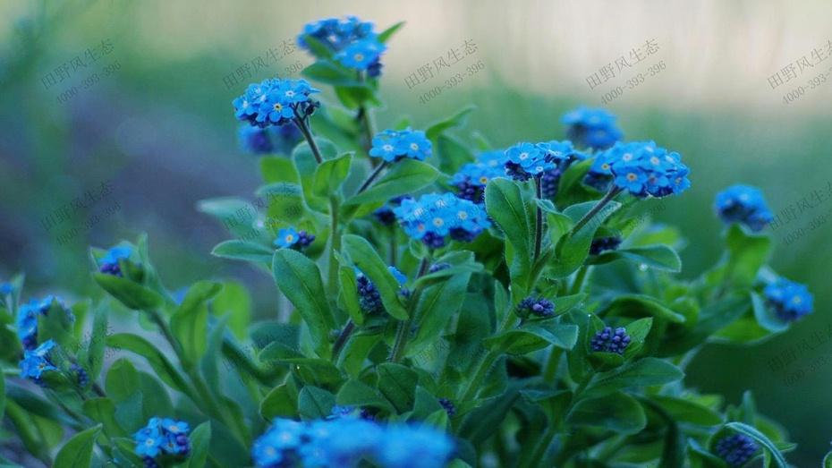 勿忘草花卉花种子
