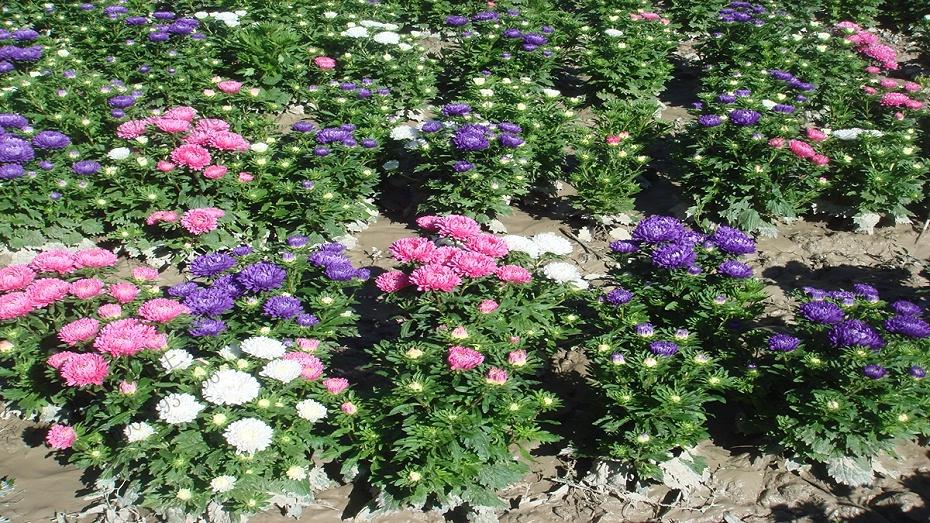 翠菊花卉花种子