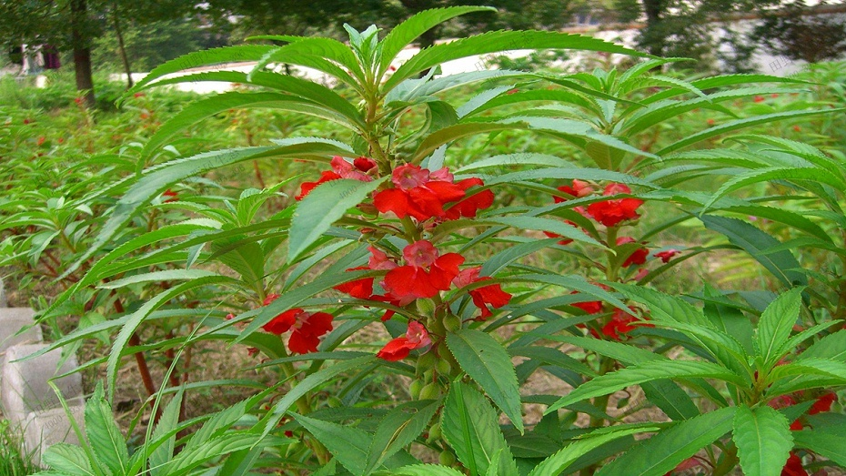 凤仙花花卉花种子