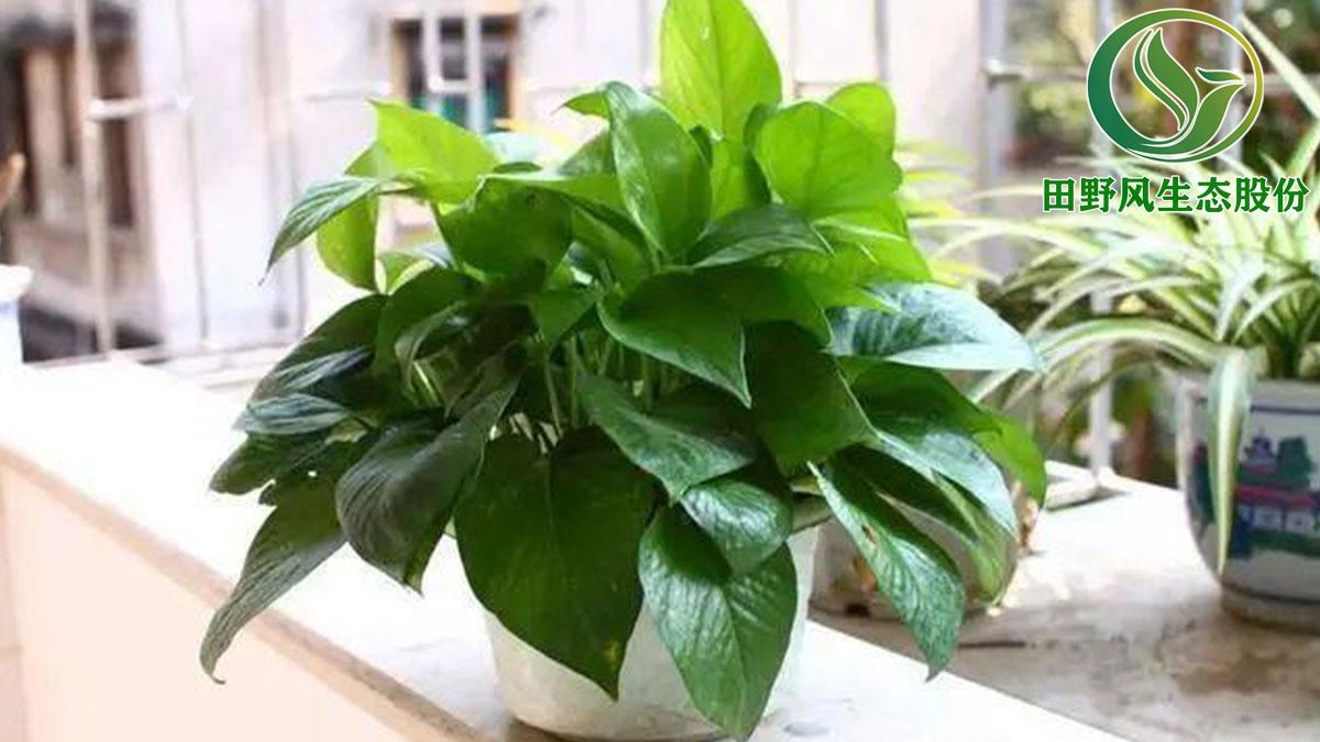 室内绿植租赁,办公室绿植养护