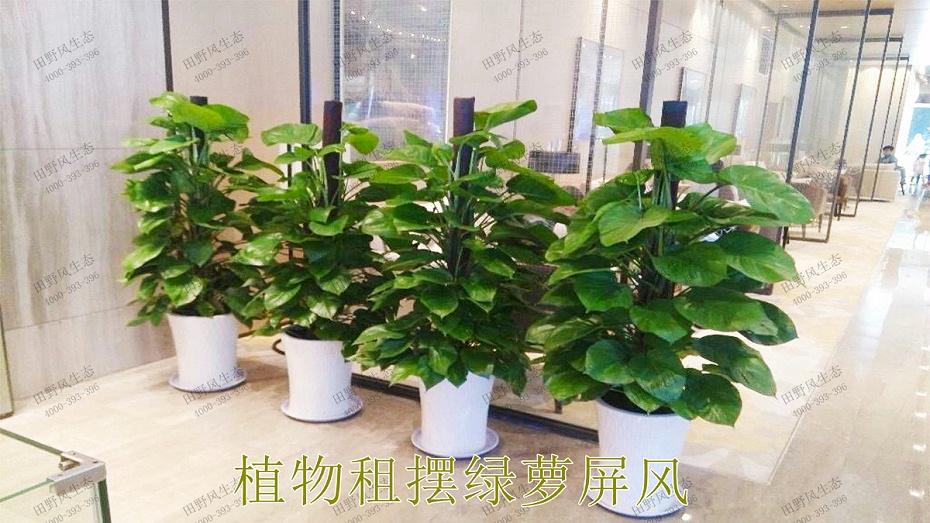 1植物租摆,绿萝