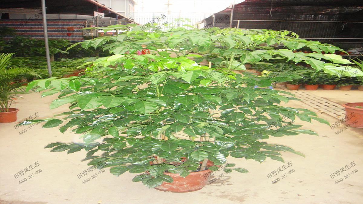 31绿宝树