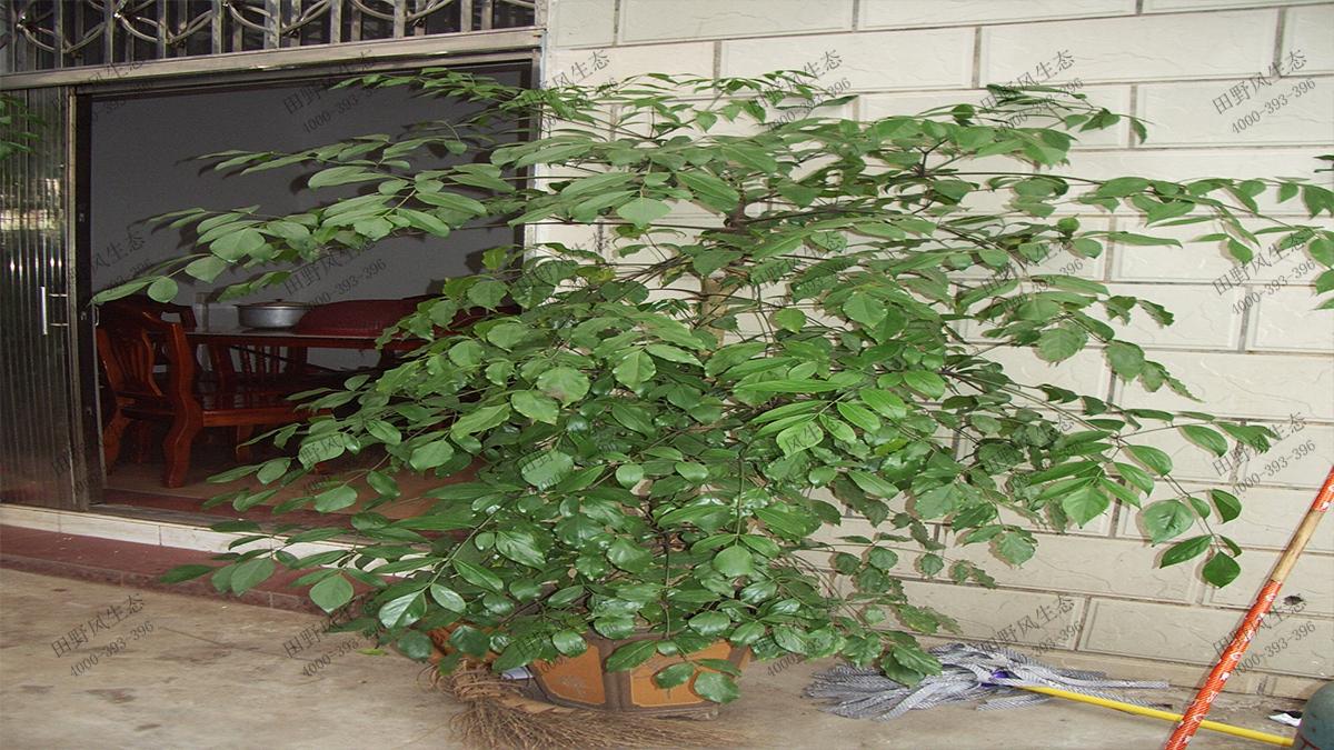 精品绿宝树