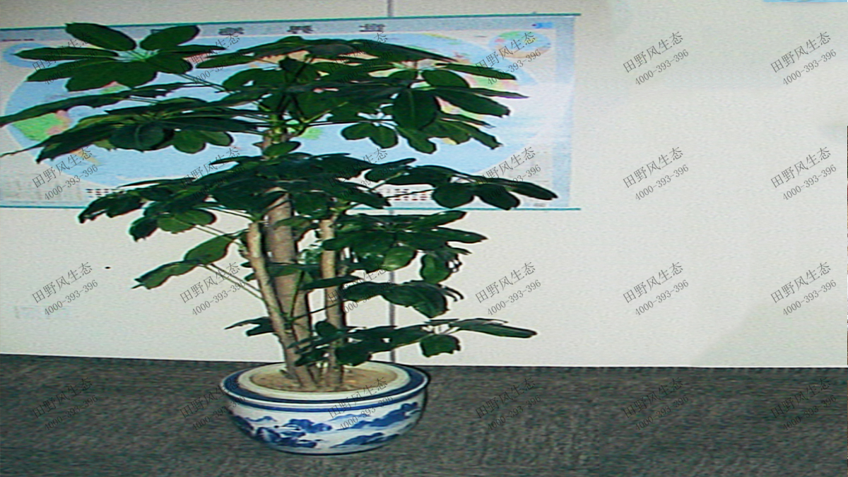 17招财树