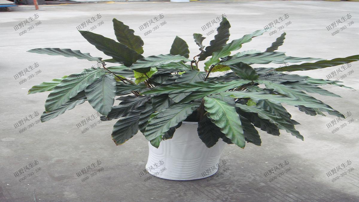 竹芋(紫背)5