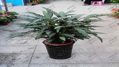 竹芋(精品紫背)