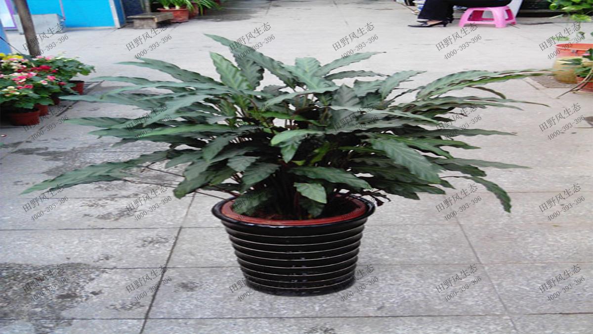 竹芋(紫背)6