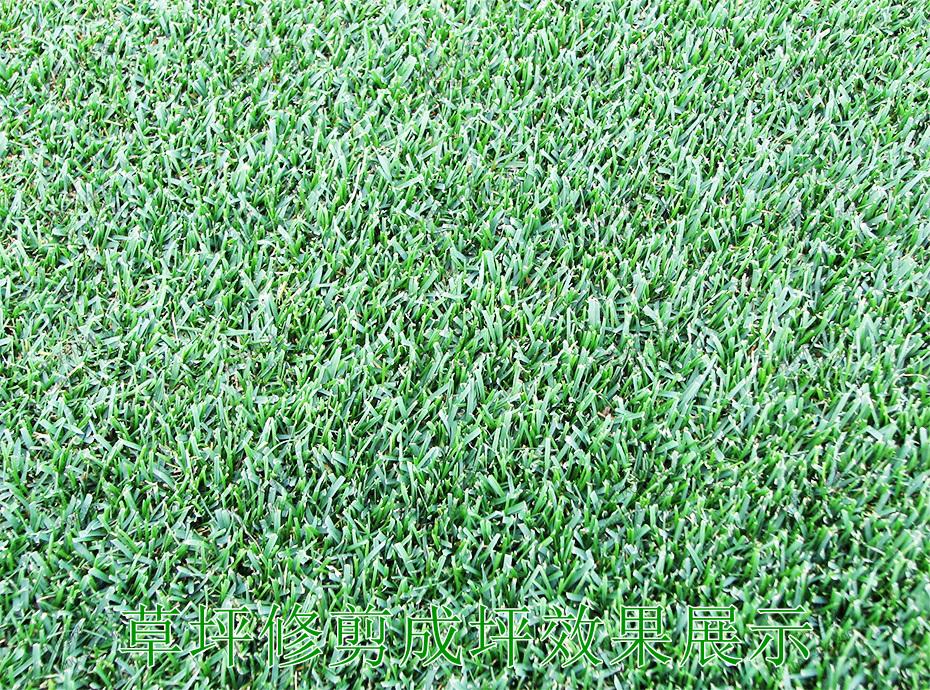 3草坪修剪成坪效果展示