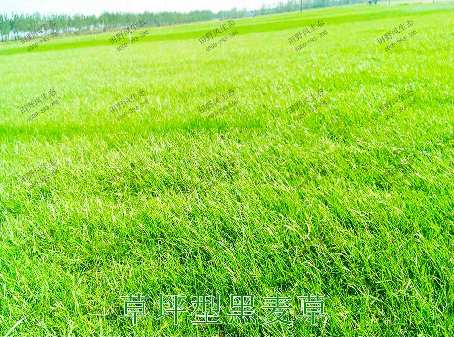 8草坪型黑麦草