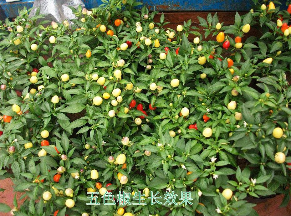 6五色椒生长效果