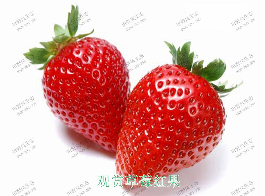 2观赏草莓红果