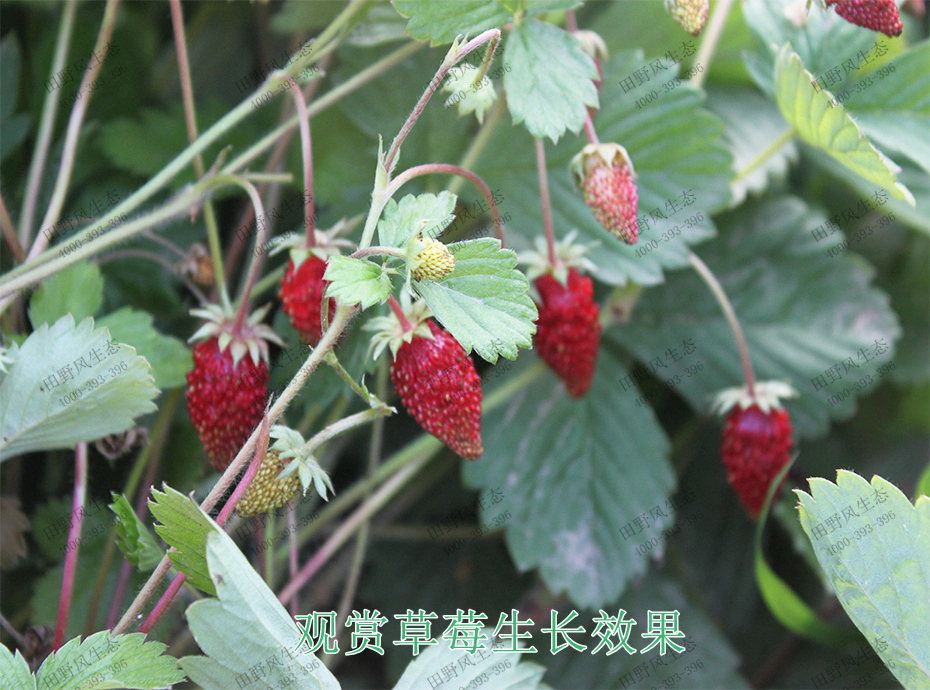 5观赏草莓生长效果