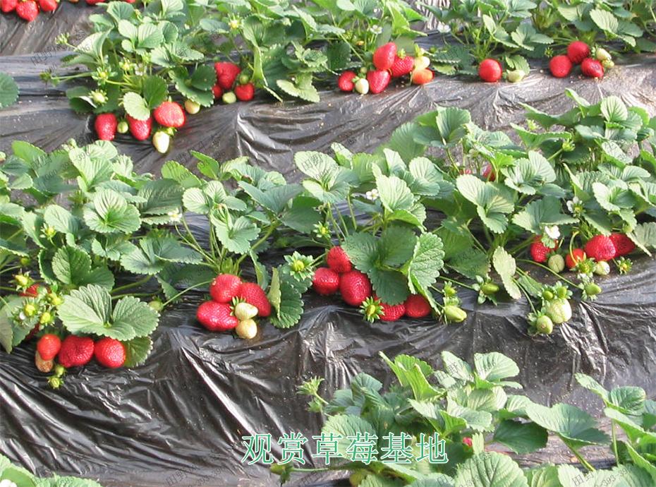 6观赏草莓基地