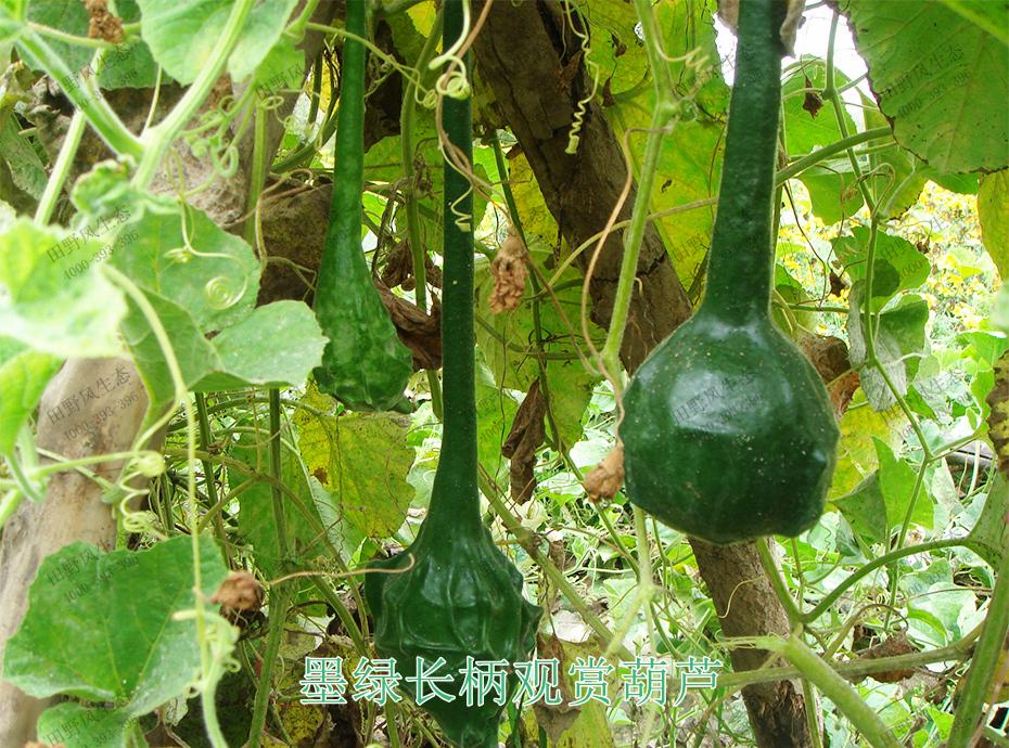 4墨绿长柄观赏葫芦