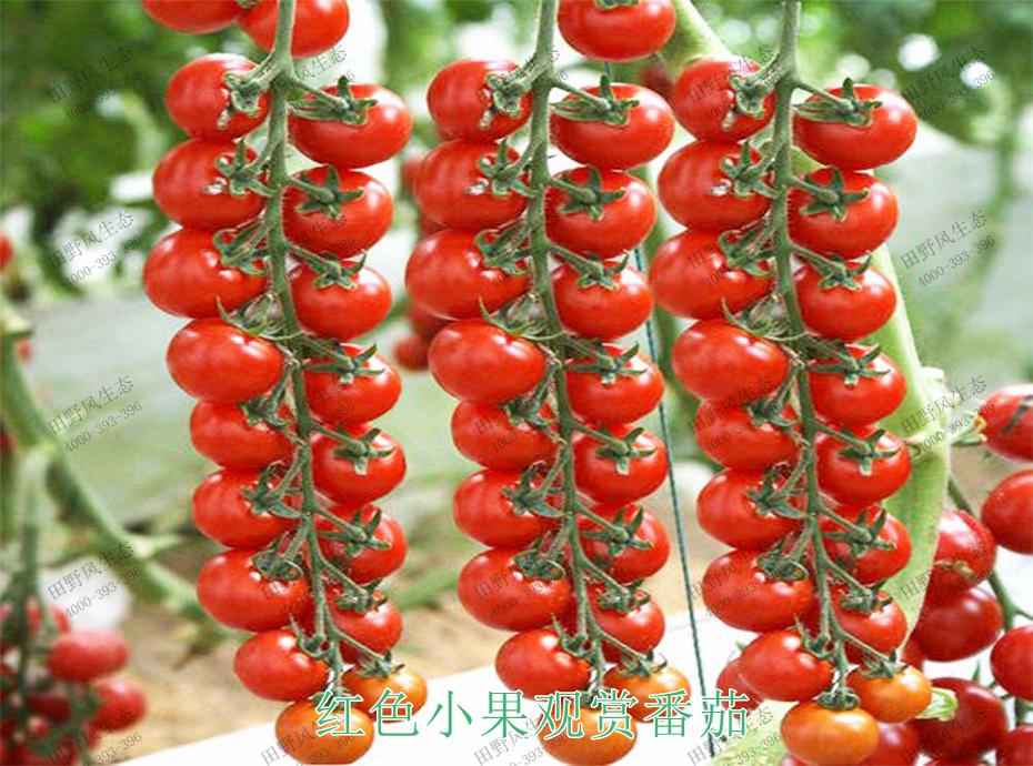 3红色小果观赏番茄