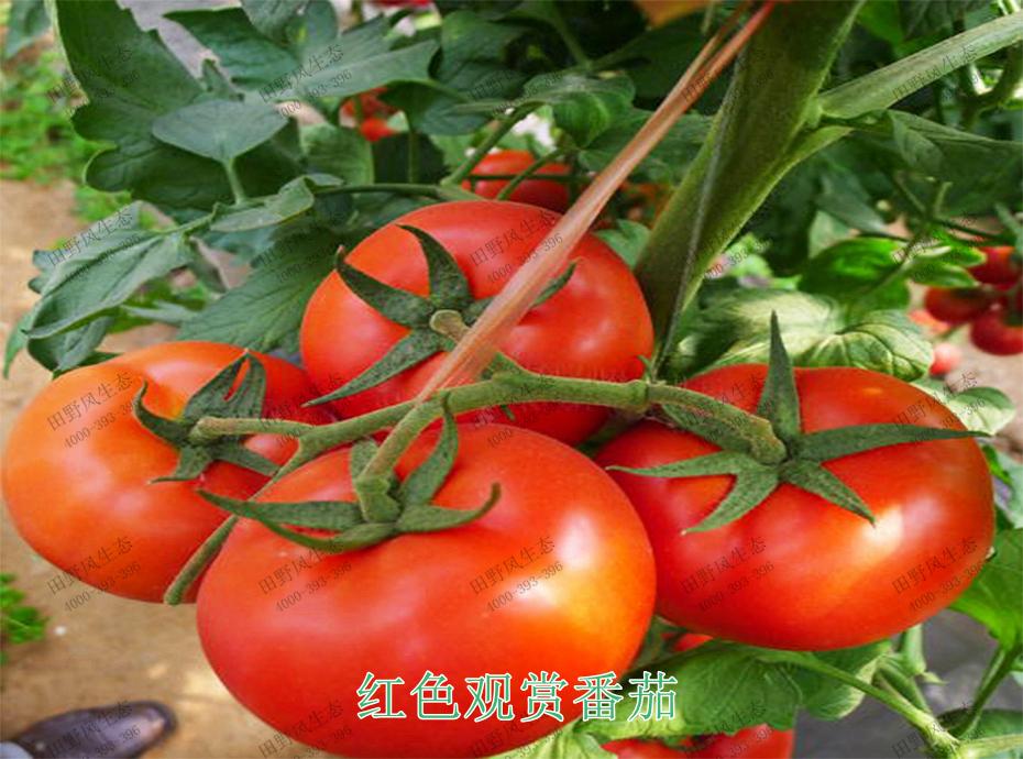 4红色观赏番茄