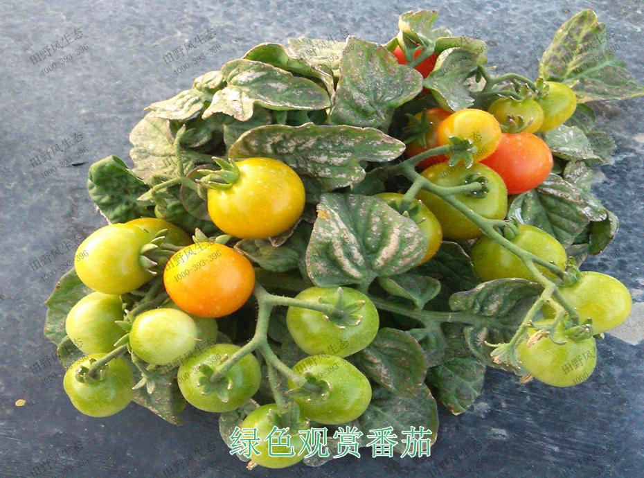 5绿色观赏番茄