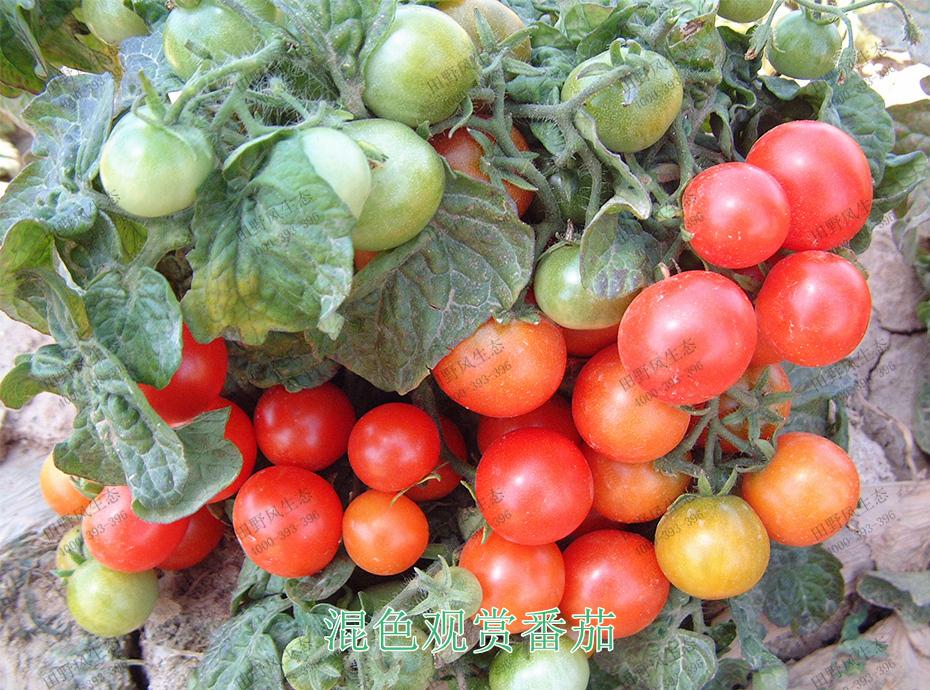 6混色观赏番茄