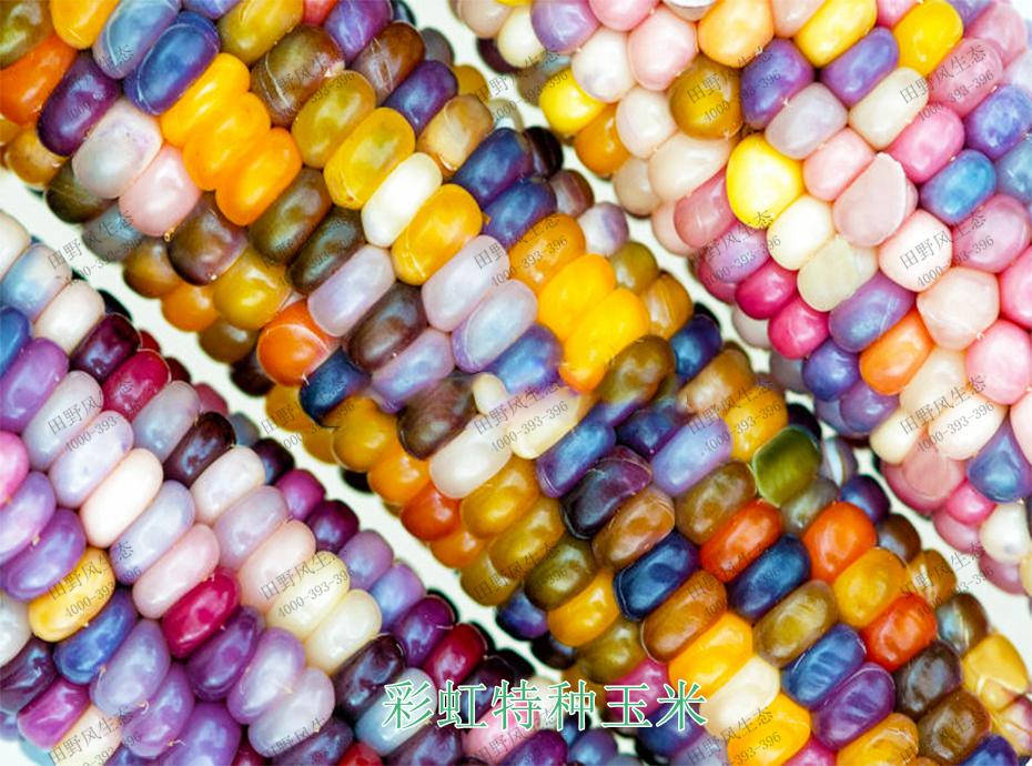 5彩虹特种玉米