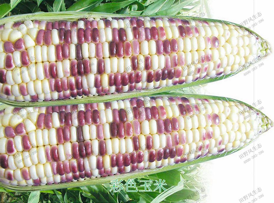 6彩色玉米