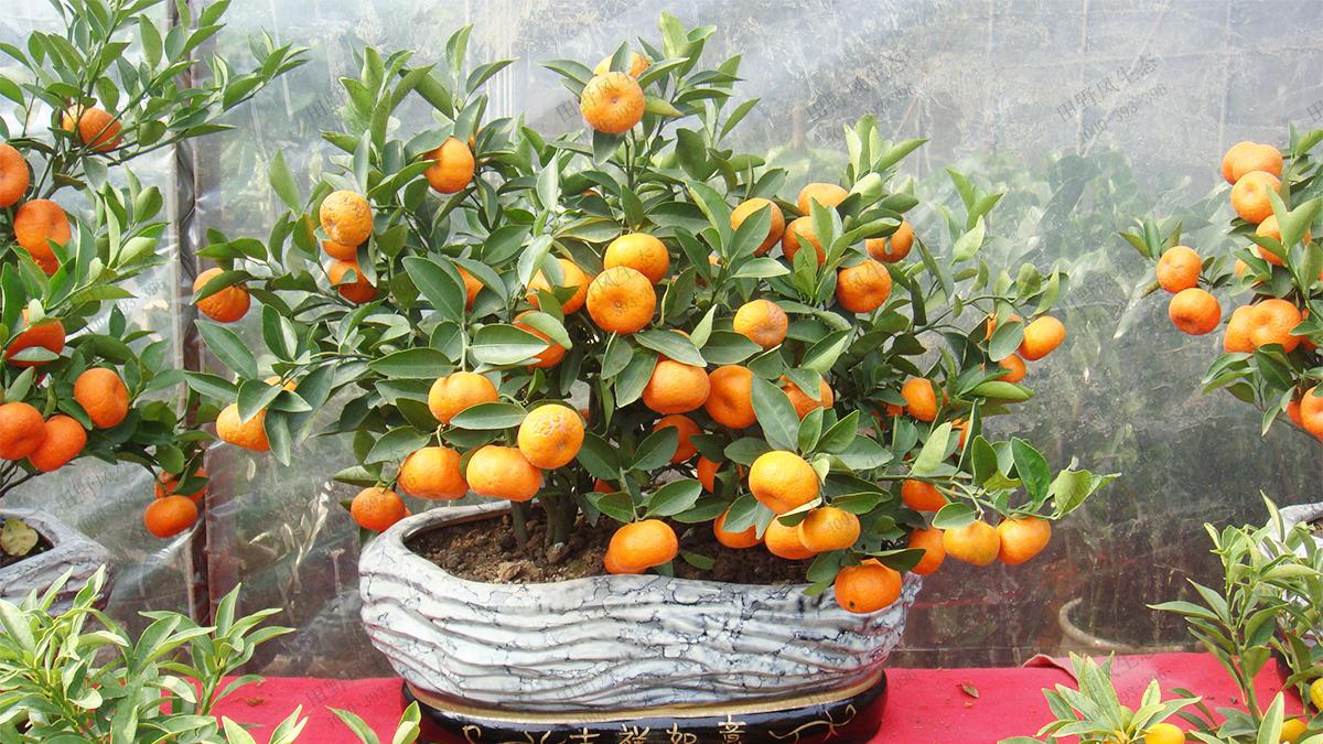 年桔桃花品种