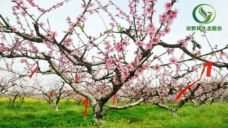 桃花购买批发,桃花盆栽