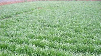 绿化草种草籽哪种好?田野风告知您