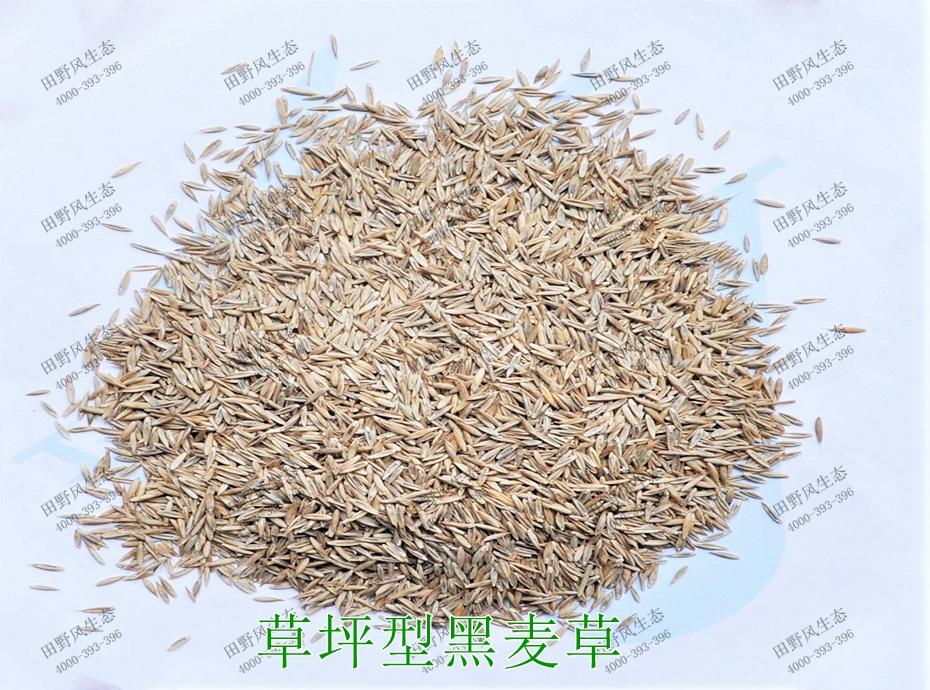 3草坪型黑麦草