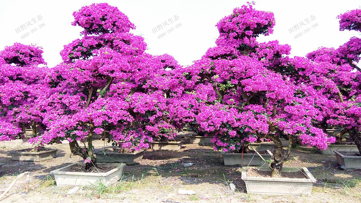 18造型紫色三角梅桩景