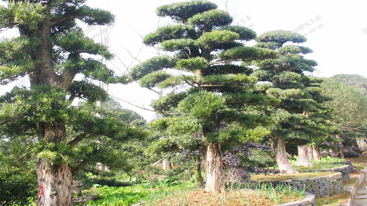 3奇特造型古树罗汉松