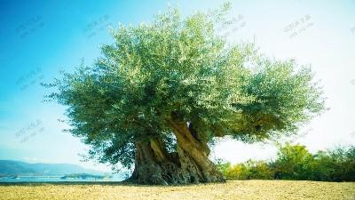 造型景观橄榄古树