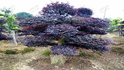 造型红花继木