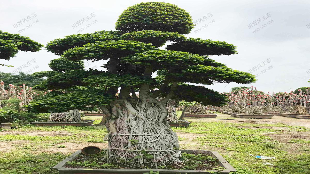 11造型小叶榕树桩
