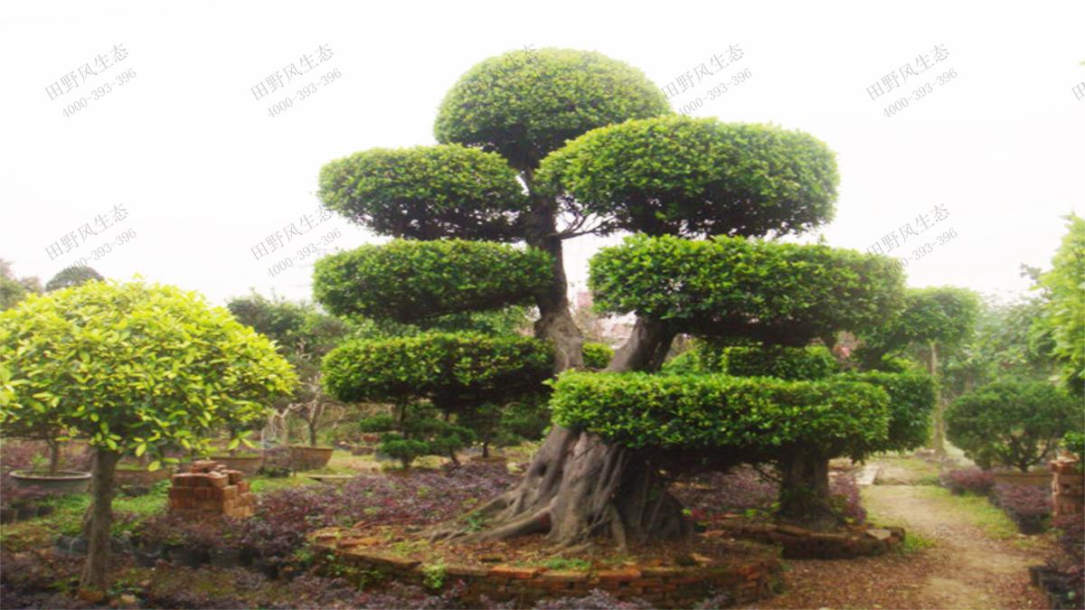 12印度榕树