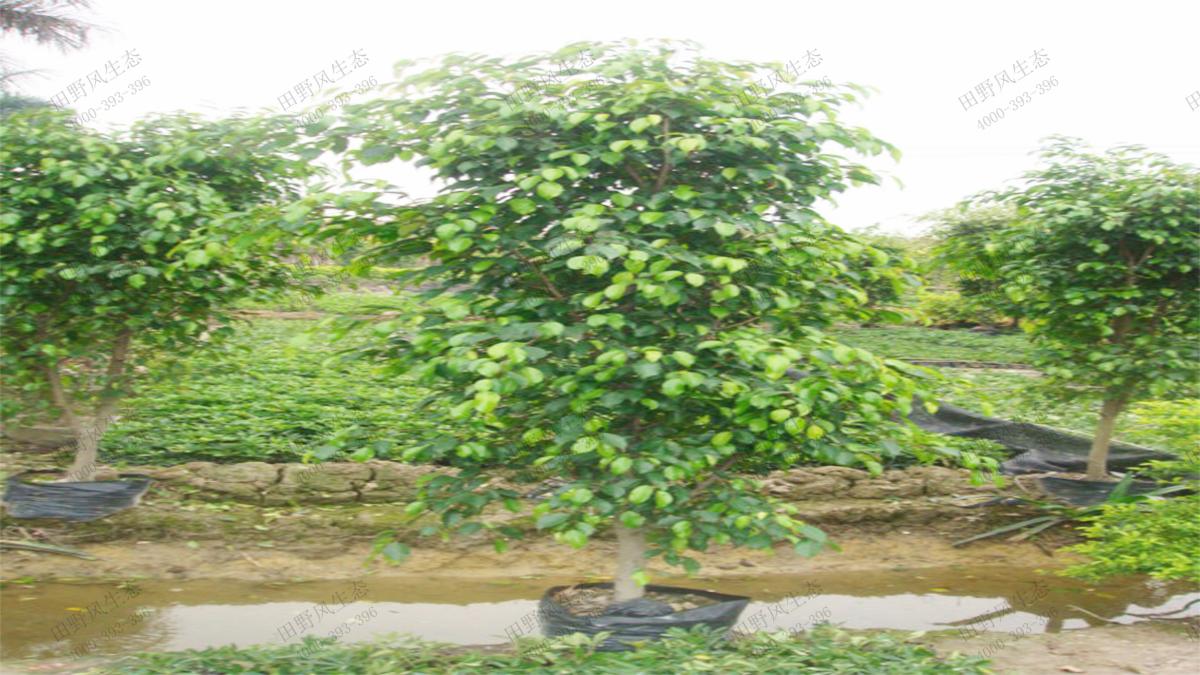 常用绿化灌木