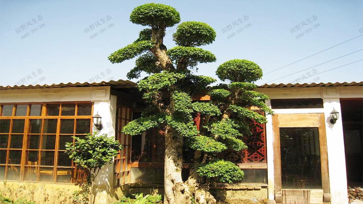 14造型景观榕树