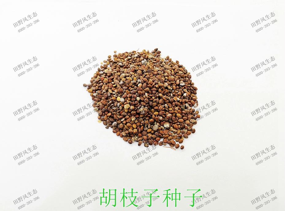 1胡枝子种子