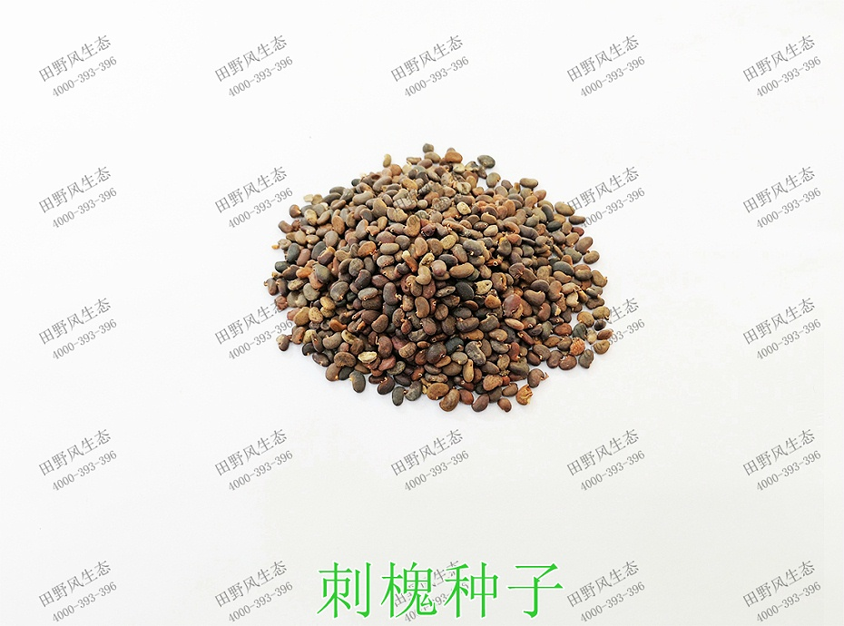 1刺槐种子