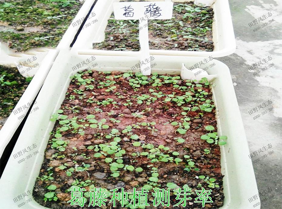 3葛藤种植测芽率